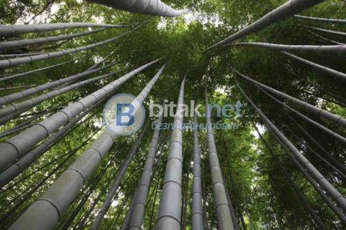 Гигантски бамбук семена