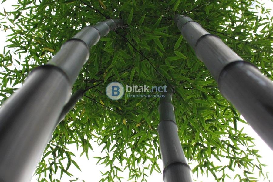 Черен бамбук семена