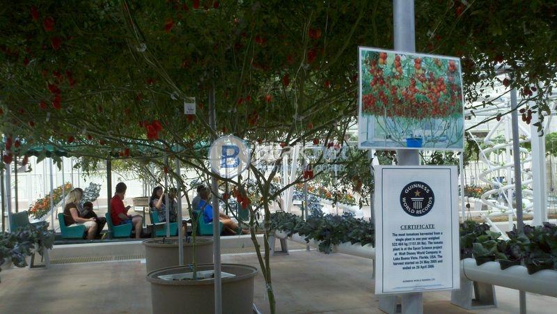Доматено дърво хибрид f1 - семена