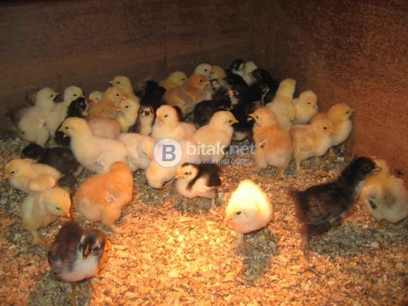 Продавам малки пилета джинки и пилета от обикновенна кокошка