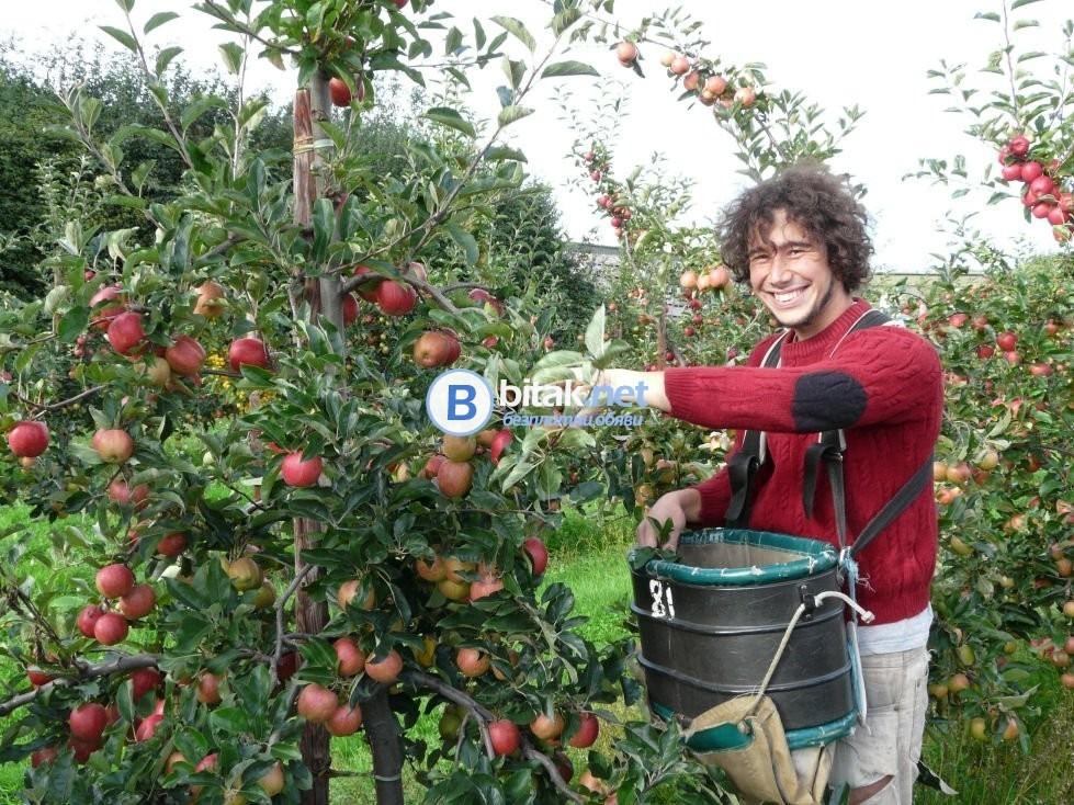 Ябълки от Август месец