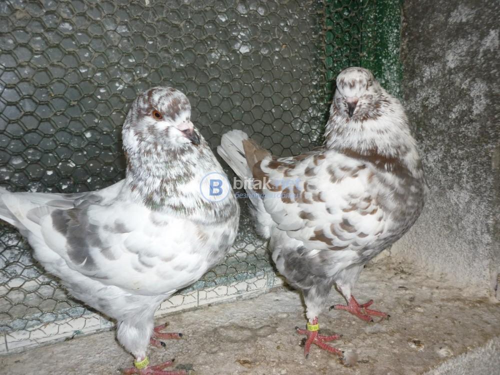 Кокошоподобен тип гълъби от породата за месо Американски Кинг Стандарт