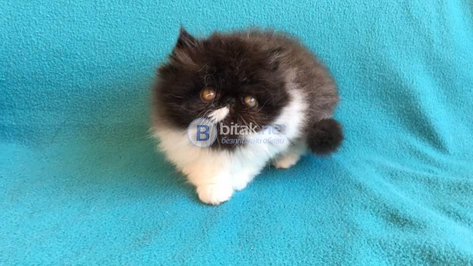 Продавам елитно персийско коте