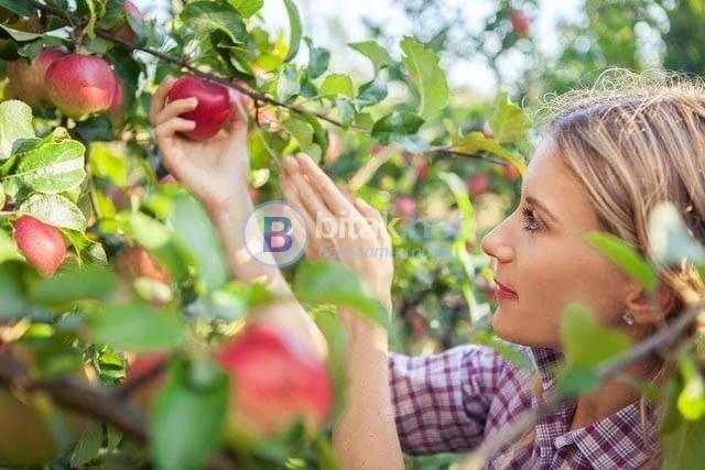 Бригади Ябълки
