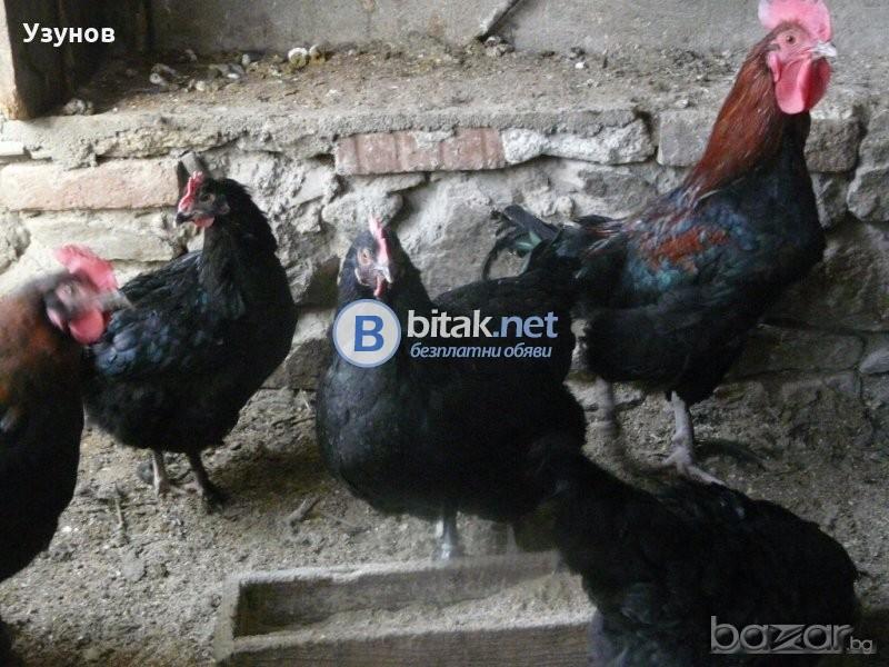 Продавам Медно черен маран 6 кокошки и 1 петел