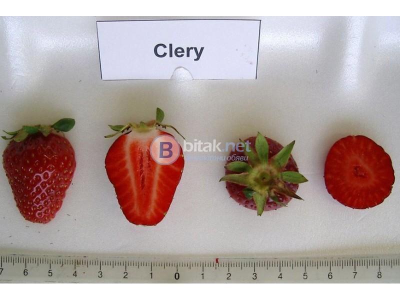 """Замразен разсад ягоди """"КЛЕРИ"""""""