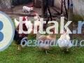 Продавам Катунски кокошки с петел