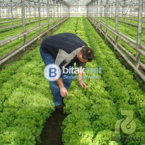 Бране на салатни култури - Англия 2018