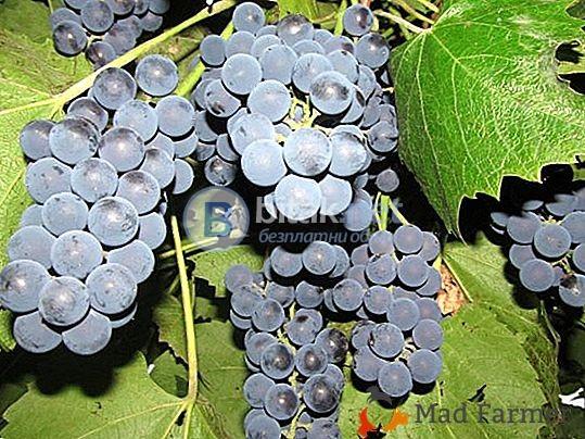 продавам грозде