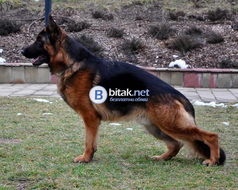 Развъдник за Немско Овчарско Куче